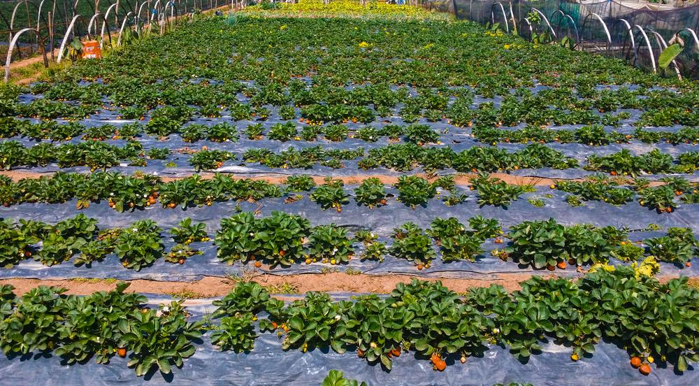 La Trinidad Strawberry Farm in Benguet