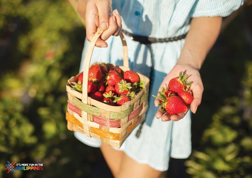 Freshly picked strawberries from La Trinidad
