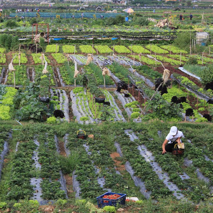 Aerial  view of a strawberry farm in Benguet