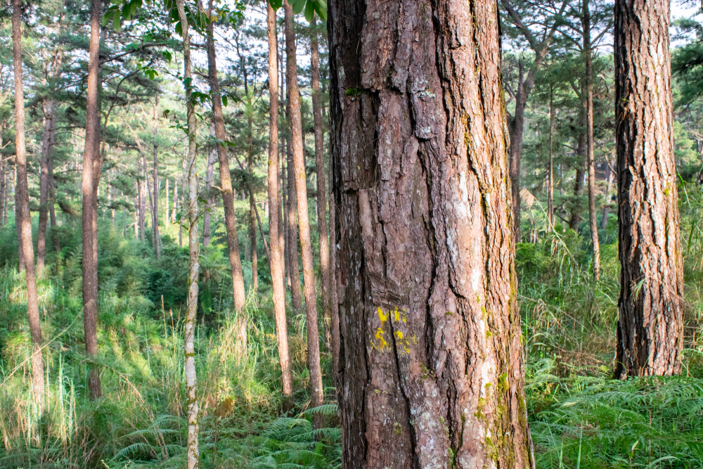 Forest full of pine trees in Baguio