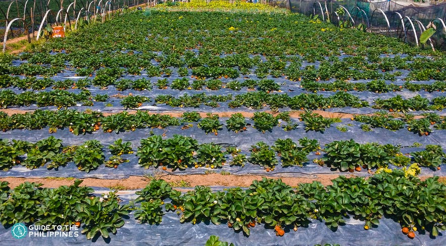 Strawberry Farm in La Trinidad Benguet