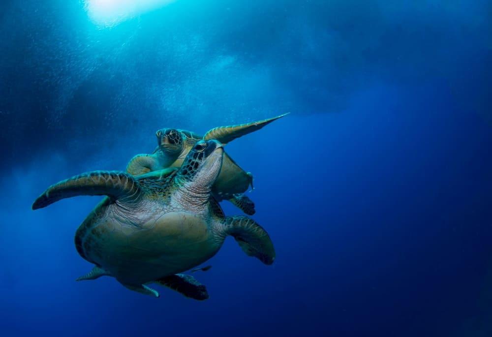 Sea turtles at the Turtle Marine Sanctuary in Cebu
