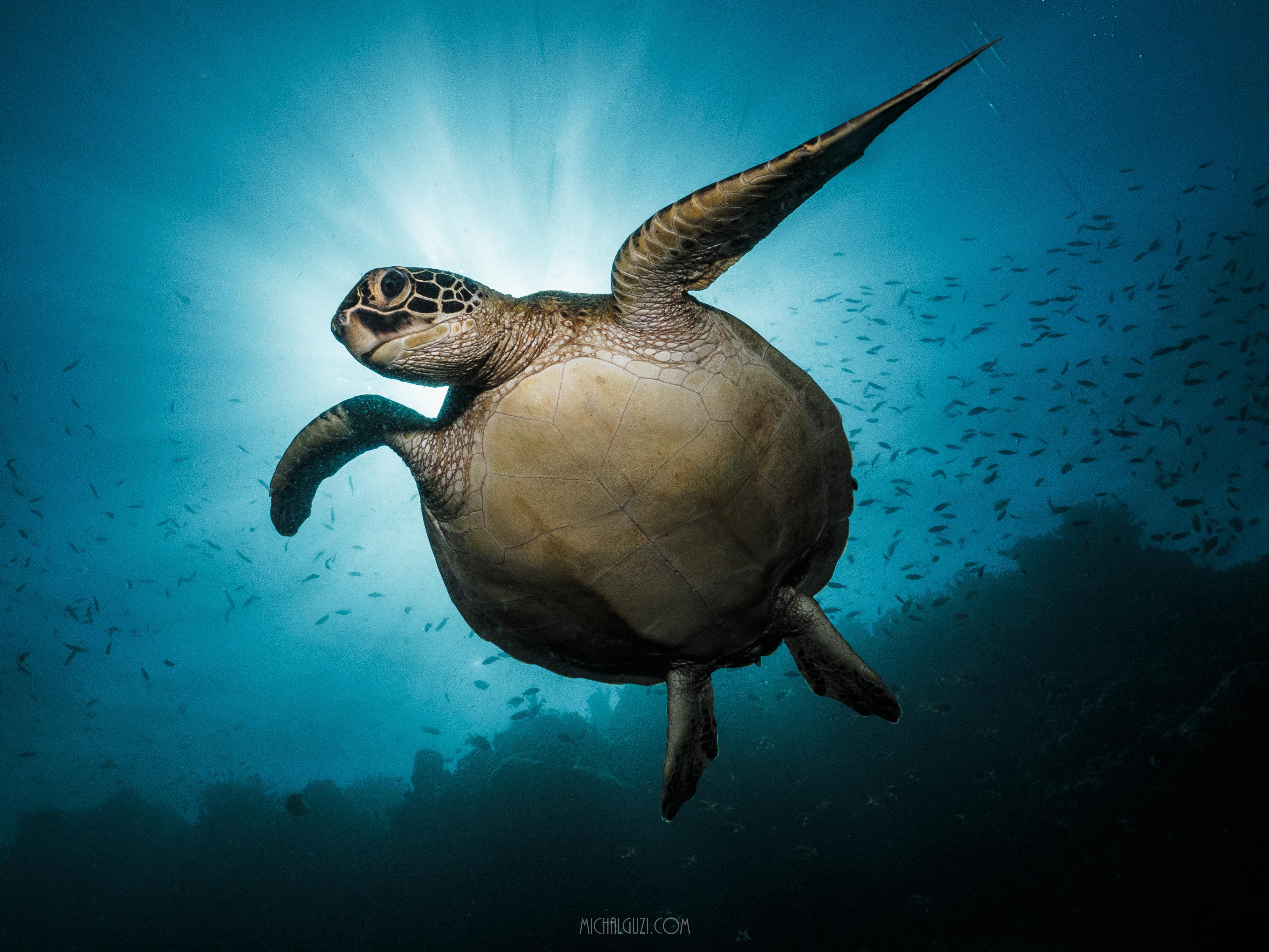 A sea turtle at the Turtle Marine Sanctuary in Cebu