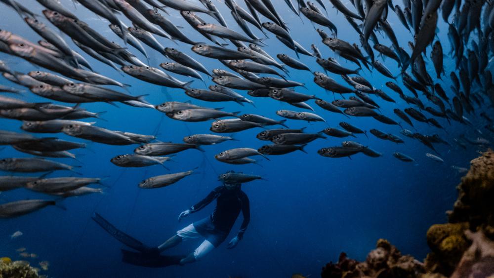 Sardine Run in Cebu