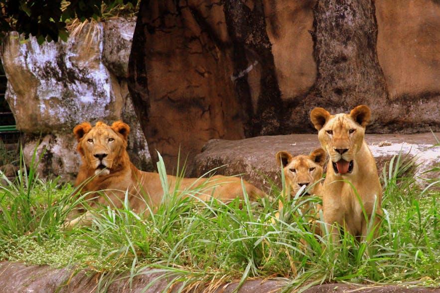 Lions in Avilon Zoo, Rizal