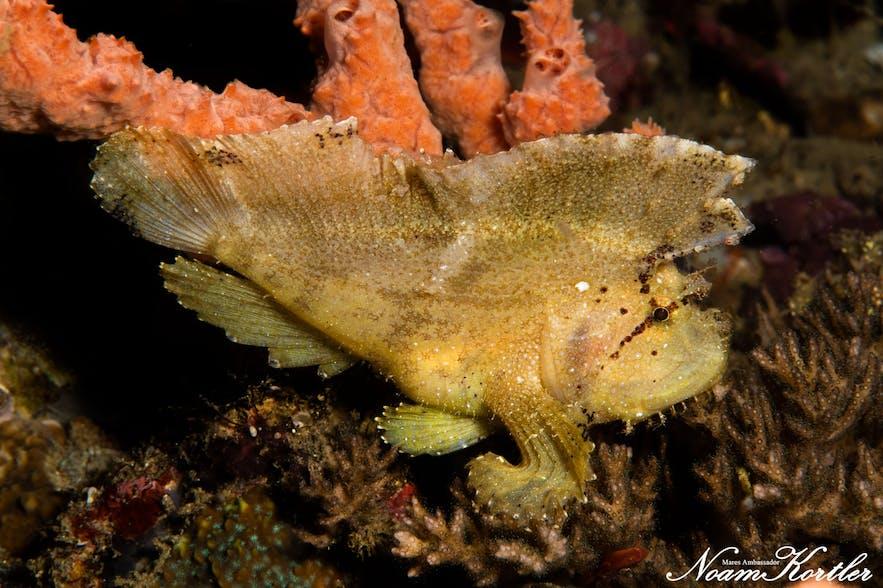 A leafy scorpion fish in Puerto Galera