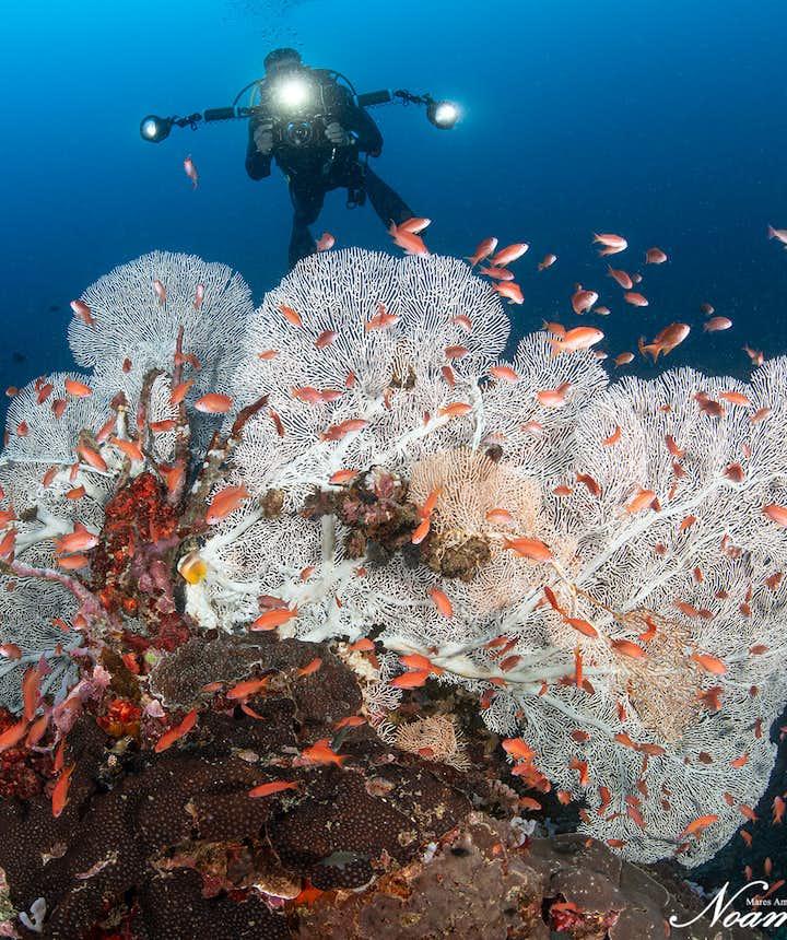 Diver sights white coral habitat in Puerto Galera