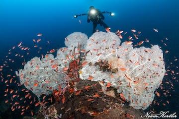 Diver sights white coral habitat in Puerto Galera.jpg