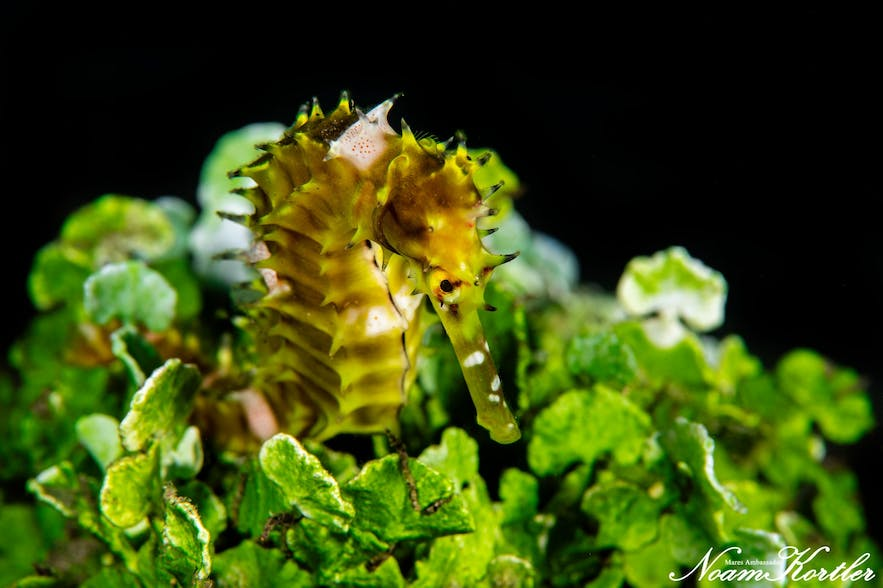 A seahorse in Dumaguete