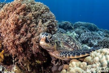 A sea turtle in Dumaguete.jpg