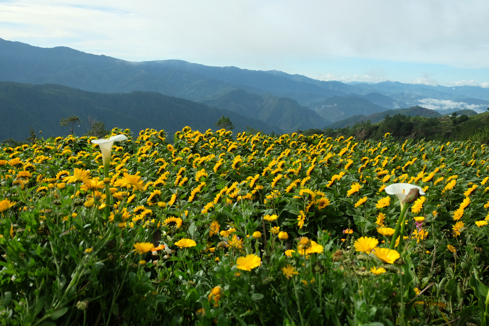 Flowers in Northern Blossom Flower Farm in Benguet