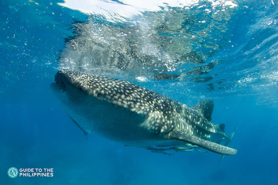 A whale shark swimming near the surface