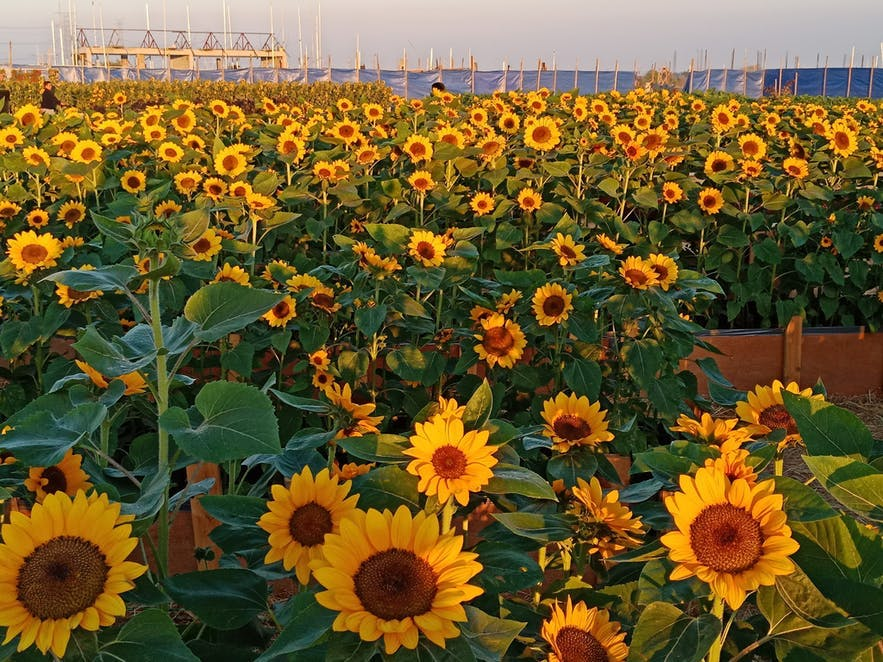 Sunflowers in the sunflower maze in Pangasinan