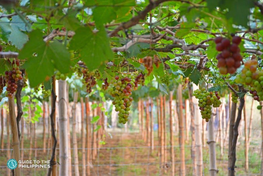 The vineyard at Gapuz Grapes Farm, La Union