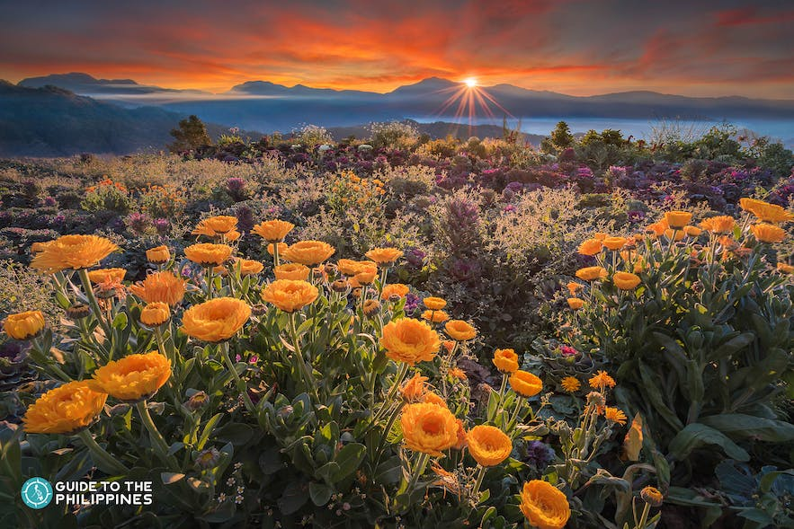 View of yellow flowers in Northern Blossoms during sunset