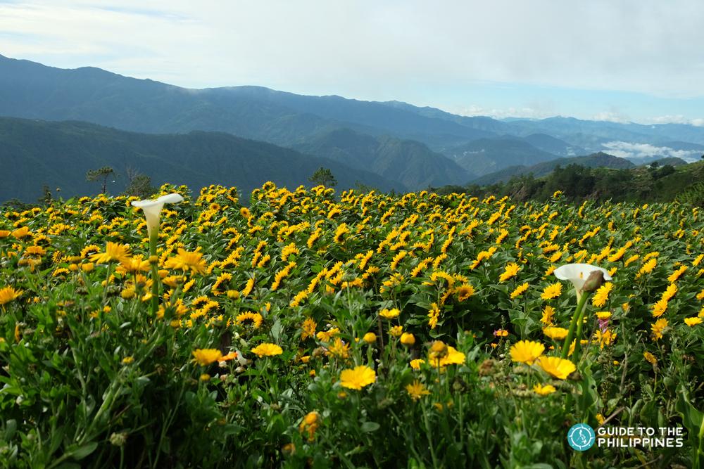 Sunflowers in a flower farm in Benguet