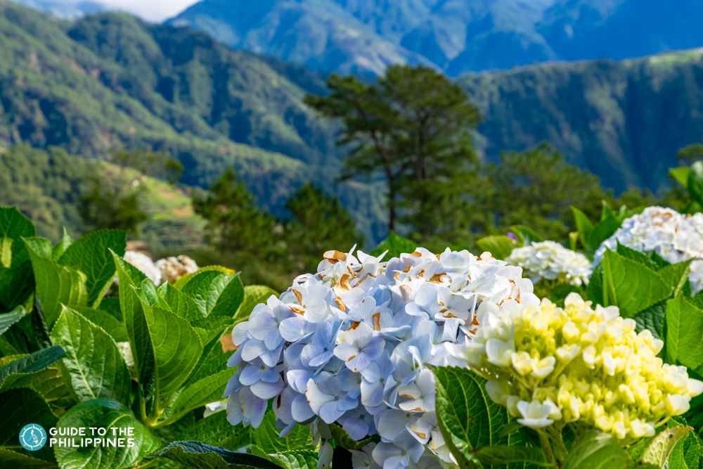 Beautiful flowers in Northern Blossom Flower Farm in Benguet