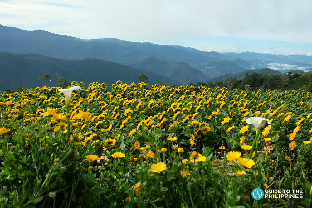 Sunflowers facing the sky in a flower farm in Benguet