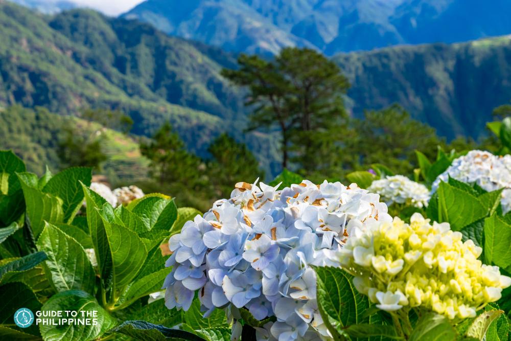 Beautiful flowers at Benguet