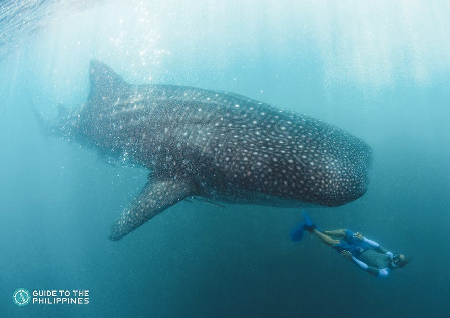 Diver swims near whale shark in Donsol
