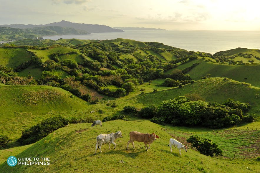 Cows on the Vayang Rolling Hills, Batanes