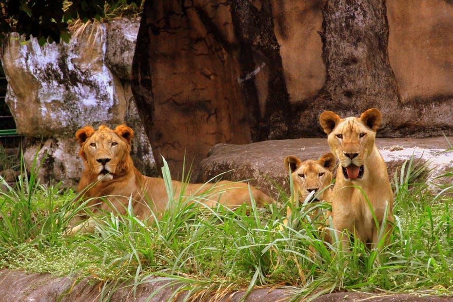 Lions in Avilon Zoo