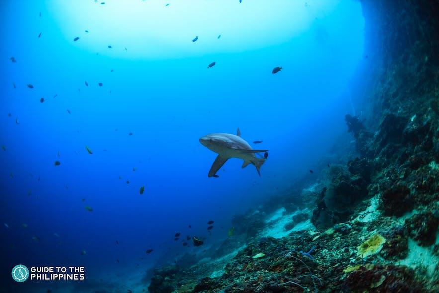 A reef shark in Monad Shoal