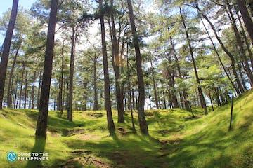 Pine trees in Baguio City.jpg