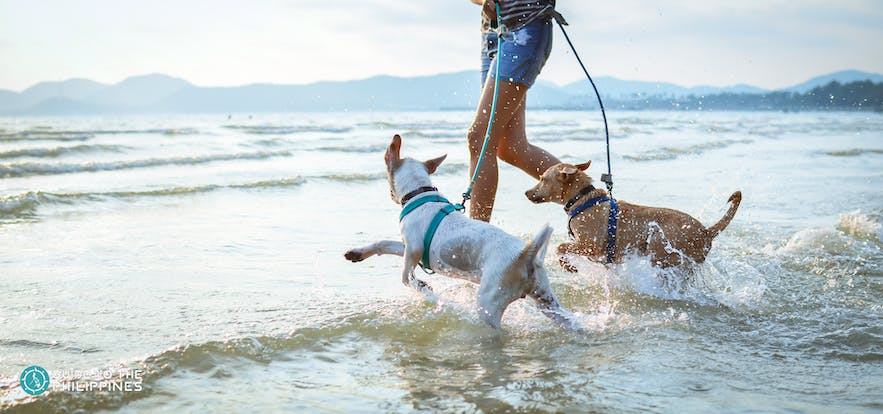 Dogs run in beach with owner