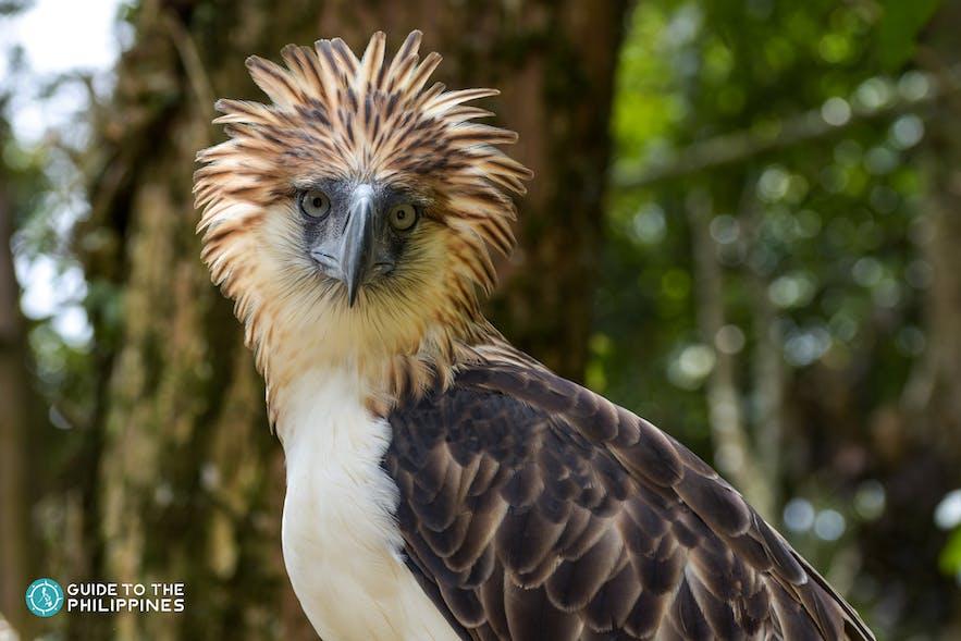A Philippine Eagle in Davao's Philippine Eagle Centre