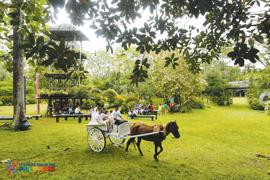 Kalesa ride in Malagos Garden Resort