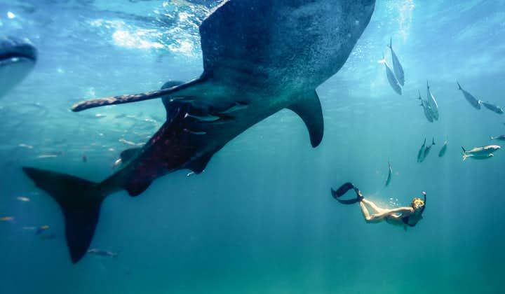 Snorkeling with a whale shark in Oslob Cebu