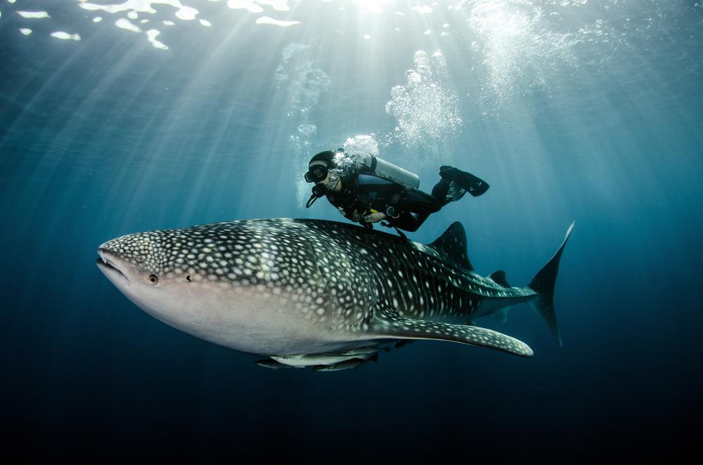 Swim with Whale Shark in Oslob, Cebu