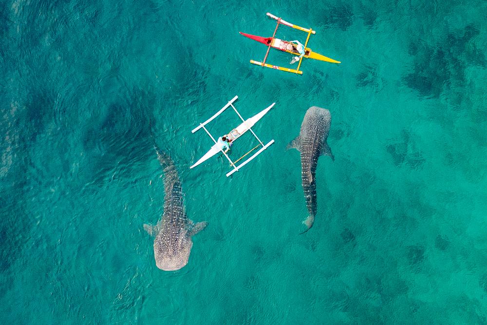Swim with Whale Sharks in Oslob, Cebu