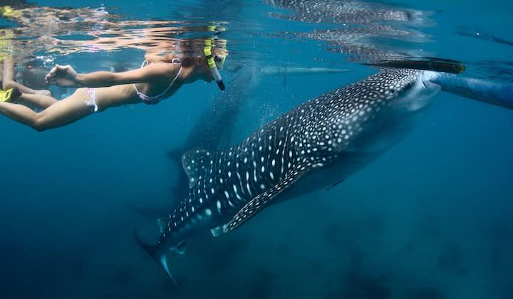 Tourist snorkeling alongside a Whaleshark (Butanding)